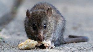 farelerin insanlara zararları, farelerin insanları ısırması, farelerin insanlara verdikleri zararlar