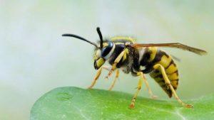 yaban arısı ilaçlama, yaban arısı nasıl ilaçlanır, yaban arısı ilaçlama yöntemi